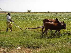 Gabiley - Farmer near the town of Gabiley