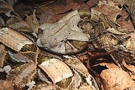 Габонская гадюка — Википедия