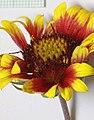 Gaillardia flower - Flickr - andrey zharkikh.jpg