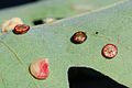 Galls on a Oak Tree (Andricus parmula) (9864335565).jpg