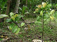 Young moʻonia tree ( Garcinia pseudoguttifera )