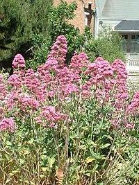 GardenValerian.jpg