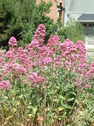 Centranthus ruber - Image: Garden Valerian