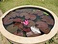 Gardenology.org-IMG 7867 qsbg11mar.jpg