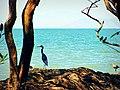 Garza azul (E. caerulea) - panoramio.jpg