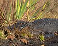 Gator in Grass (5179507406).jpg