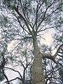 Geijera parviflora Wilga-Havilah1.jpg