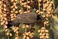 Gelbsteißbülbül - Pycnonotus xanthopygos 05.jpg