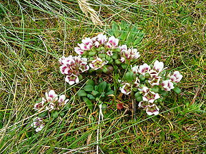 Auckland Islands - Gentianella concinna, an endemic plant of the Auckland Islands