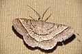 Geometrid Moth (Isturgia deerraria) (16711624857).jpg