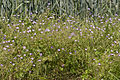 Geranium pyrenaicum velennes 80 10062008 1.jpg