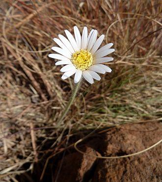 Gerbera - Image: Gerbera viridifolia, Waterberg