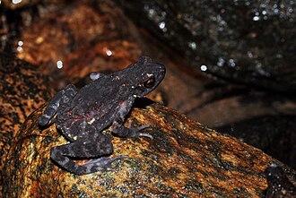 Ghatophryne ornata - Malabar Torrent Toad