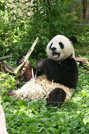 """Giant Panda (Ailuropoda melanoleuca) """"Tia..."""
