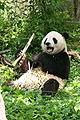 """Giant Panda (Ailuropoda melanoleuca) """"Tian Tian"""".jpg"""