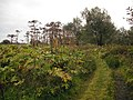 Giant hogweed, Manor Powis - geograph.org.uk - 1756265.jpg