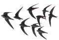 Gierzwaluw Apus apus Jos Zwarts 2.tif