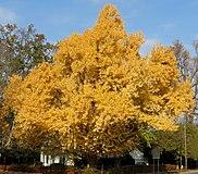 Ginkgo biloba tree in fall colors (Newark, Ohio, USA) (49047727587).jpg