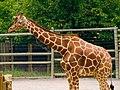 Giraffe (201352765).jpg
