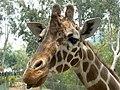 Giraffe (2623508011).jpg