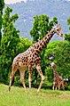 Giraffe in mysore zoo - karnataka.jpg