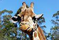 Giraffe portrait. (10622766983).jpg
