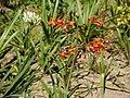 Gladiolus (6367331673).jpg
