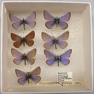 Xerces blue - Samples of the extinct Glaucopsyche xerces butterfly in the collections of the Field Museum of Natural History