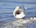 Glaucous-winged Gull.jpg