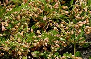 Caryophyllales - Glinus oppositifolius from family Molluginaceae