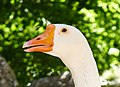 Goose (close-up) at the National Garden of Athens.jpg