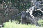 A gorilla wading in waist-deep water with its arms outstretched and holding an object in its right hand. The water is surrounded by thick vegetation.
