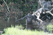 Credit: Public Library of ScienceThis adult gorilla uses a branch as a walking stick to gauge the water's depth; an example of technology usage by primates.