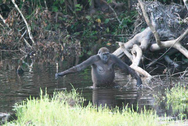Gorila hembra utilizando herramientas simples: un palo para comprobar la profundidad del agua.