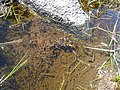 Granota entre el Prat Fondal i l'estany Mal P1300527.jpg