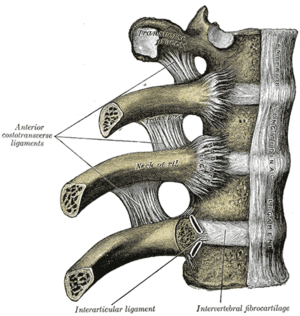 Intra-articular ligament of head of rib - Costovertebral articulations. Anterior view. (Intra-articular ligament labeled at lower left.)