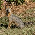 Gray Fox by Stephen Rahn .jpg
