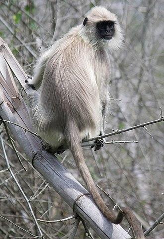 Gray langur - Image: Gray langur Mudumalai 02