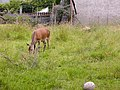Grazing deer, Arran. - geograph.org.uk - 95805.jpg