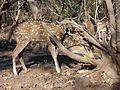 Grazing grass photo of deer.jpg