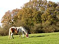 Grazing pony on the slopes of Lodge Hill, New Forest - geograph.org.uk - 81039.jpg
