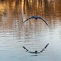 Great Blue Heron (16915872278).jpg