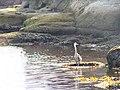 Great Blue Heron - panoramio (1).jpg