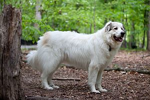 Great Pyrenees - Image: Great Pyrenees Mountain Dog
