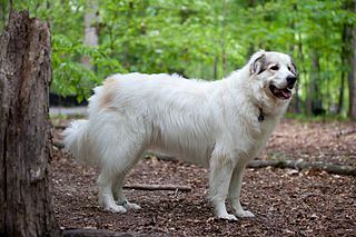 Pyrenean Mountain Dog Dog breed