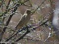 Great Rosefinch (Carpodacus rubicilla) (27139784113).jpg