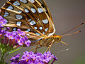 Great Spangled Fritillary-27527-1.jpg