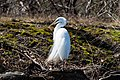 Great egret prospect park april 2019 2.jpg