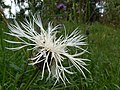 Greater Knapweed, Centaurea scabiosa - geograph.org.uk - 895829.jpg