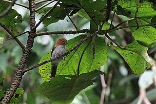 Rufous-headed parrotbill species of bird